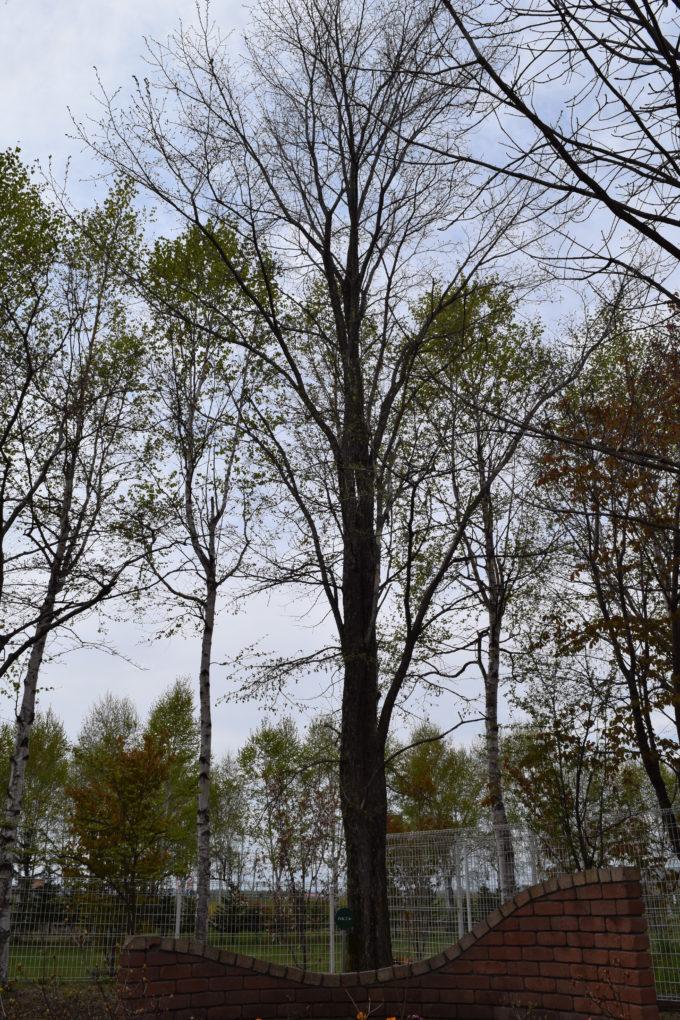 柳月スイートピアガーデン庭園にあるハルニレの木
