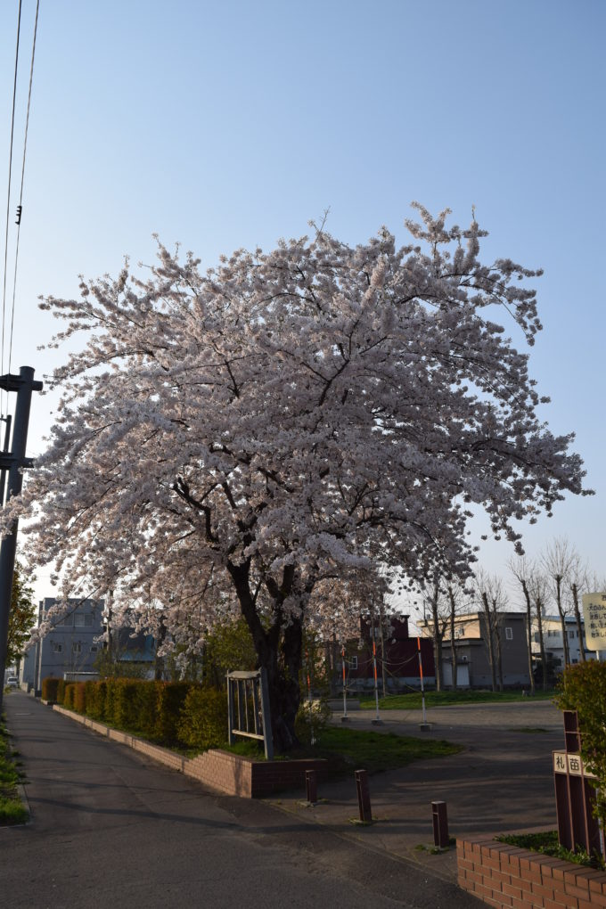 公園入口の桜の木