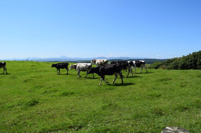 トコトコと牛が歩いています