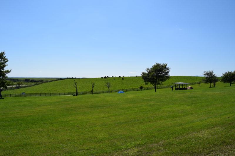 放牧されている牛と近いキャンプエリア