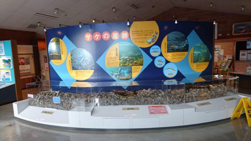 サケの剥製による産卵行動と産卵床のジオラマ展示。