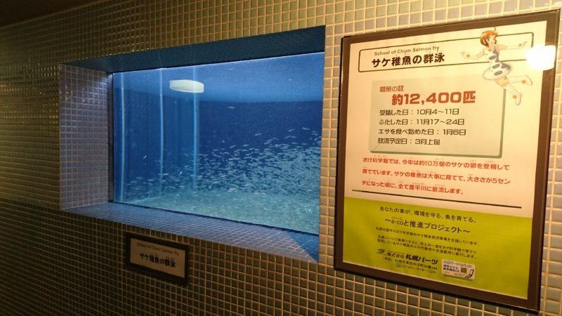 サケ稚魚の群泳