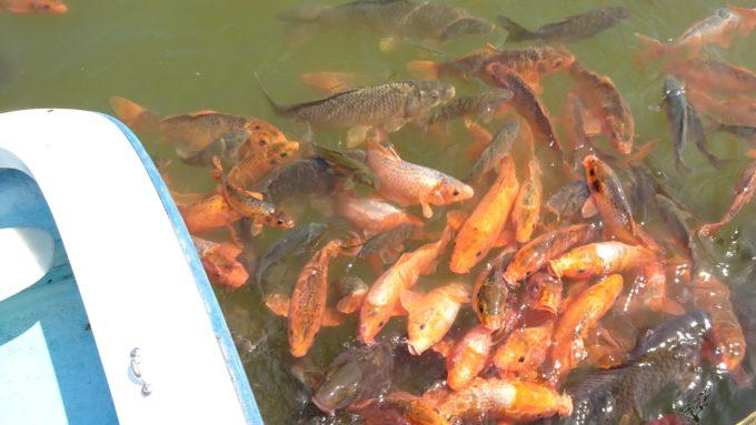 水面には鯉が沢山