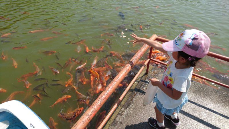 餌をあげると続々と鯉が集まってきます
