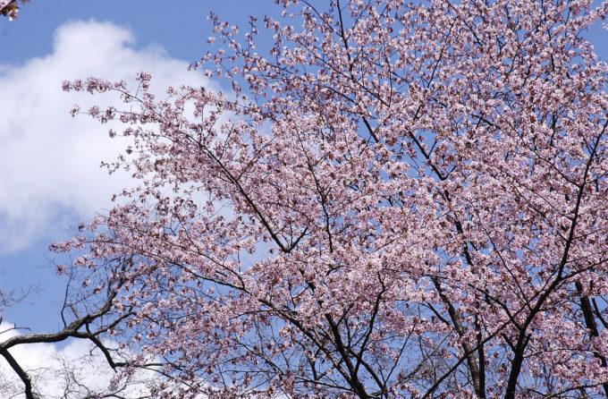 北海道の気象台・測候所にあるサクラ標本木一覧