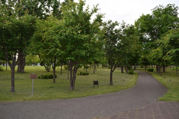 クリスタルパークのエゾヤマザクラの桜の木