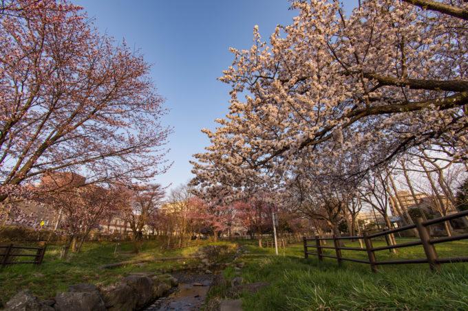 福住小川公園の桜