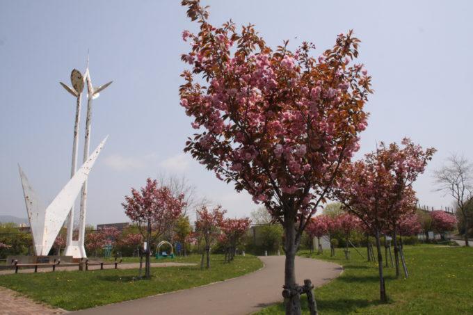 白鳥台北公園の桜