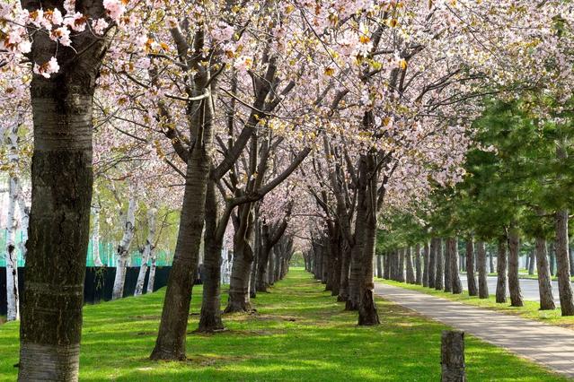花咲スポーツ公園の桜