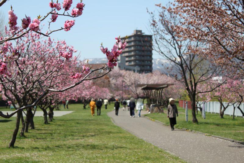 発寒河畔公園の桜