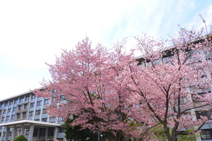 北海道大学の桜