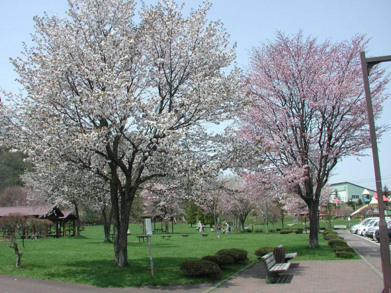 ふきだし公園の桜
