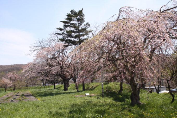 南部陣屋跡の桜