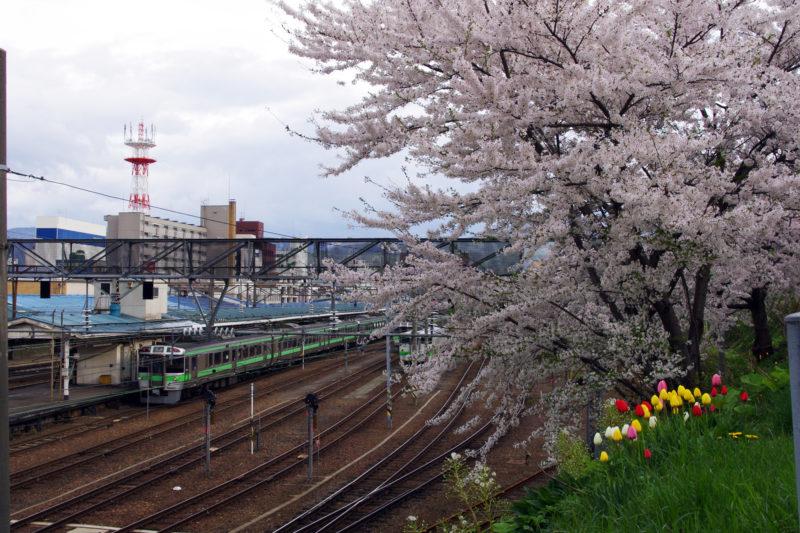 JR小樽駅の桜