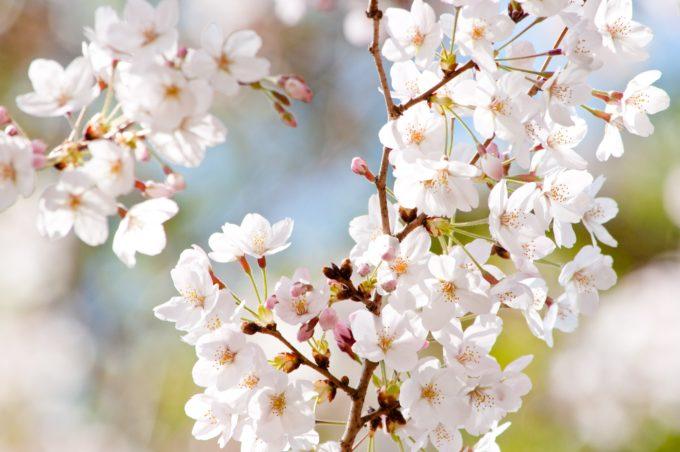 道北にある桜の名所と開花予想日・満開見頃