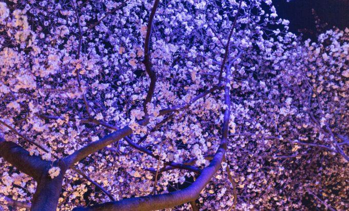 道南にある桜の名所と開花予想日・満開見頃