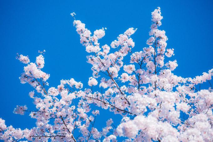 道央にある桜の名所と開花予想日・満開見頃