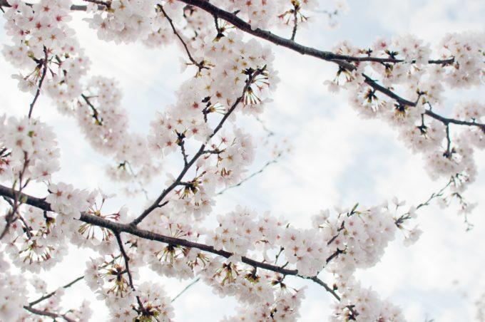 道東にある桜の名所と開花予想日・満開見頃