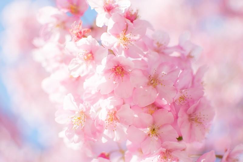 札幌市内にある桜の名所と開花予想日・満開見頃