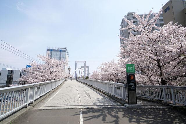 白石こころーど桜