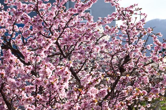 寒地土木研究所の桜