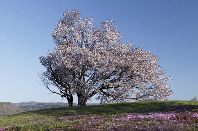 津別双子の桜