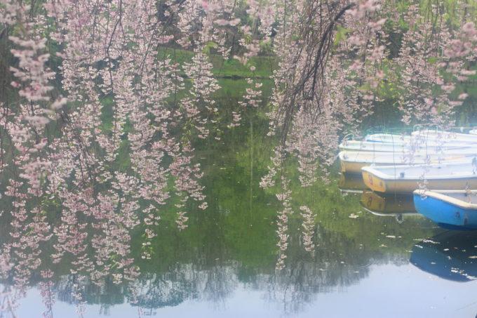 月寒公園の桜と貸しボート
