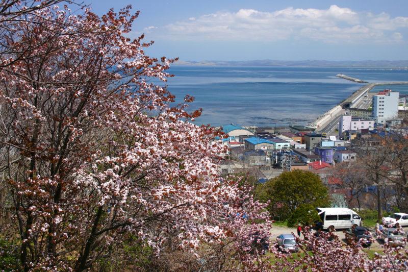 稚内公園桜