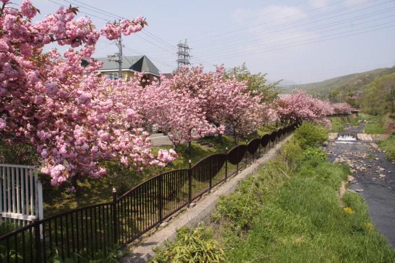 鷲別川沿い桜並木