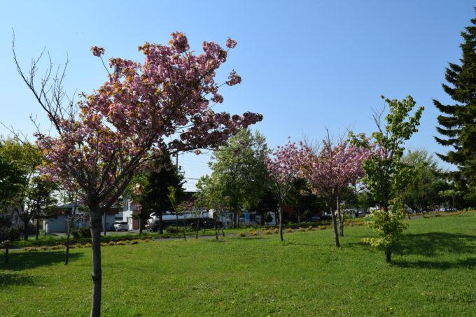 石狩ふれあいの杜公園桜の森