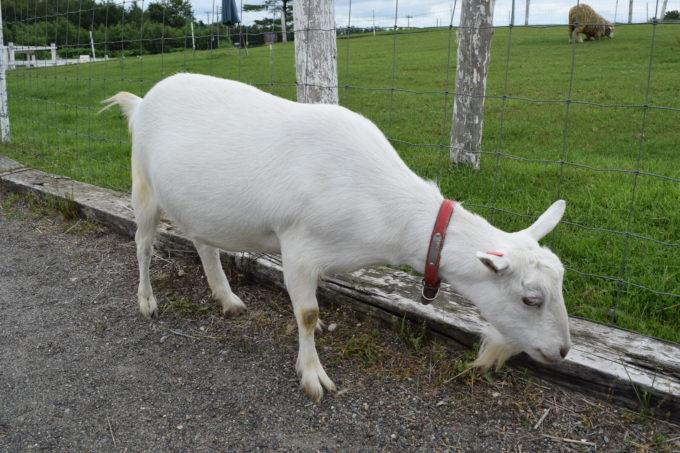 ヤギが放牧