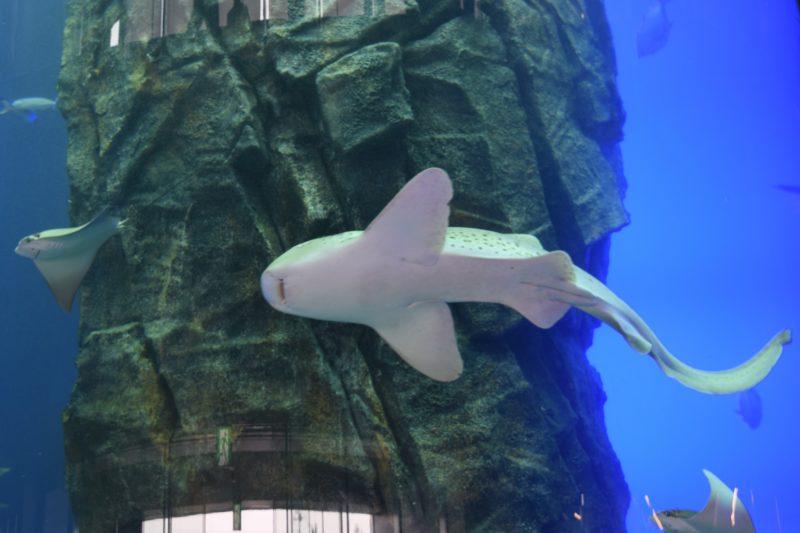 せんのすけの巨大円柱水槽で泳ぐエイやサメ