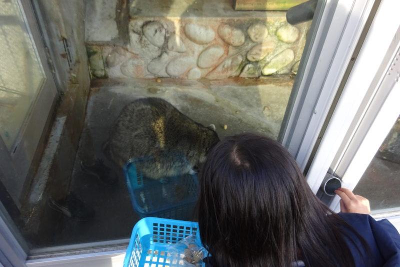 昭和新山熊牧場のアライグマ