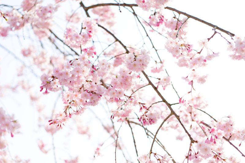 北海道で楽しめる桜(サクラ)の一覧