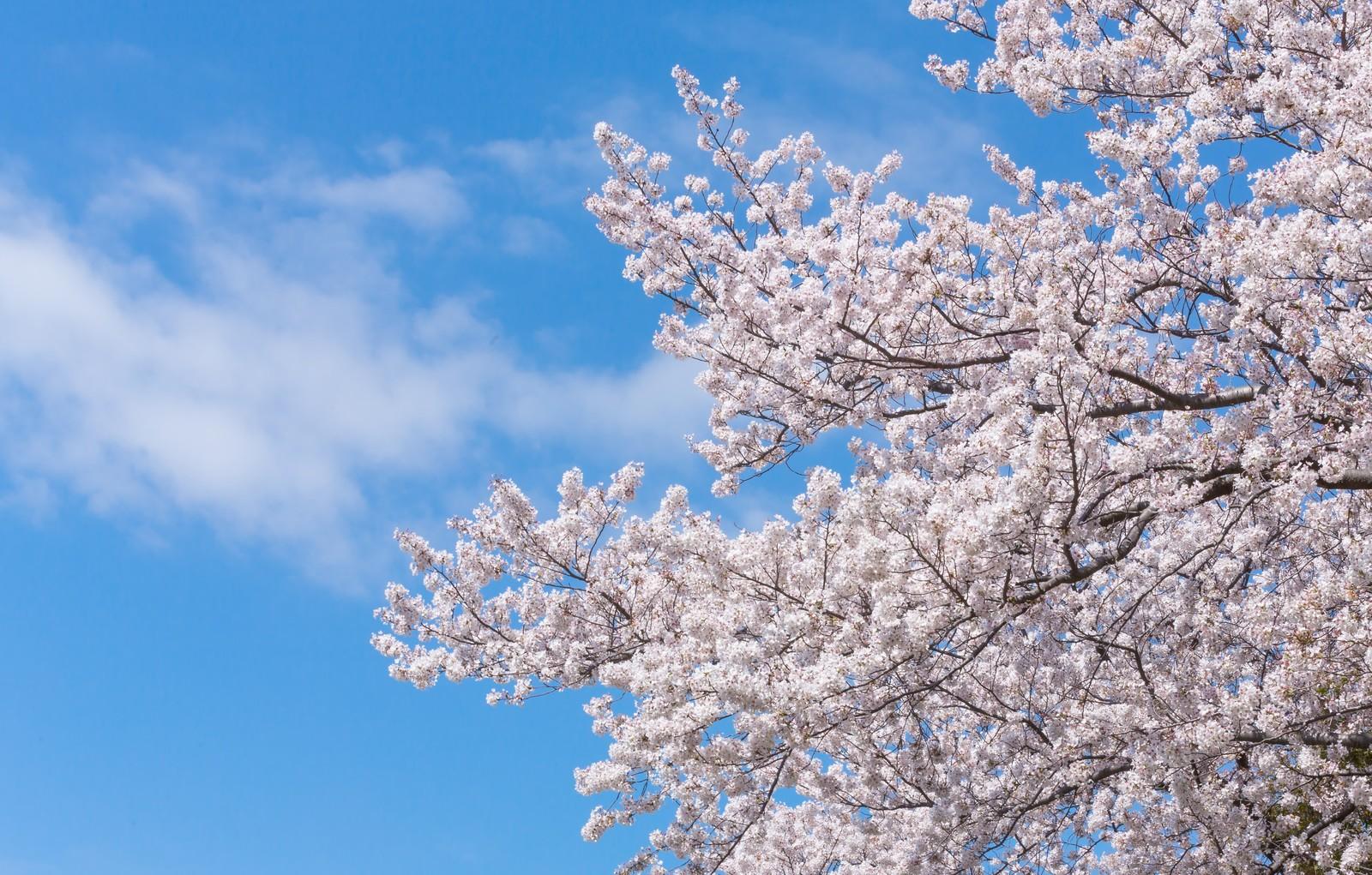北海道の桜が見えるライブカメラ