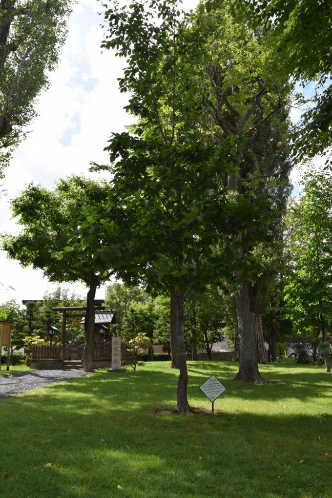 札幌神社のブナの木