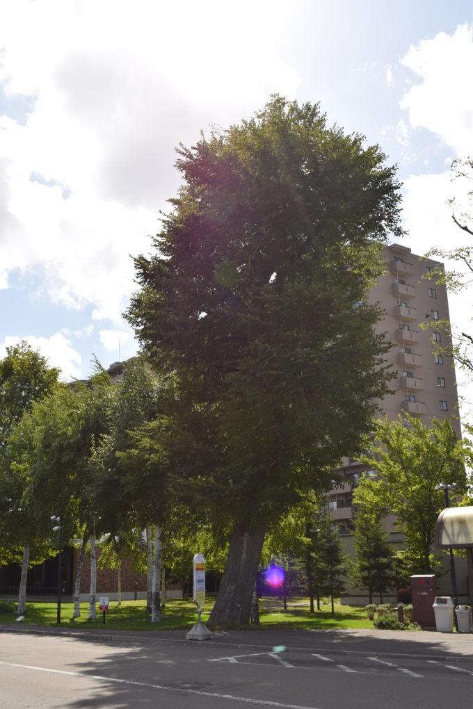 札幌神社のハルニレの木