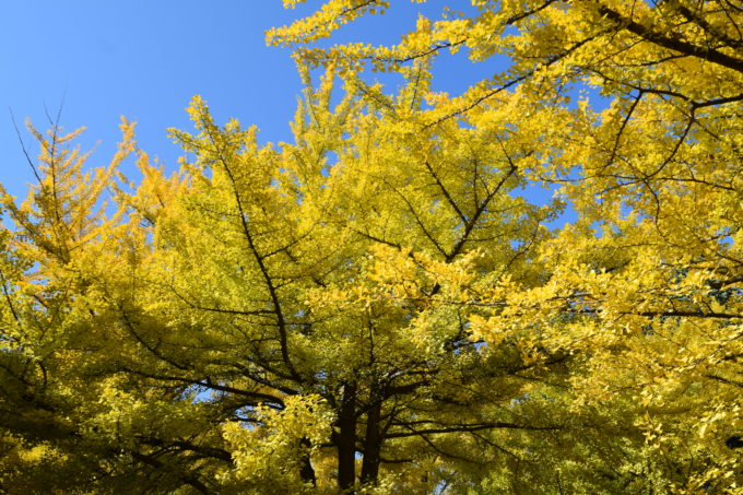 青空とイチョウの黄葉