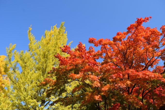 北海道大学中央キャンパス総合研究棟1号館付近の紅葉・黄葉