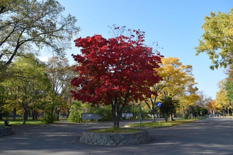 クラーク会館前にあるハウチワカエデの紅葉