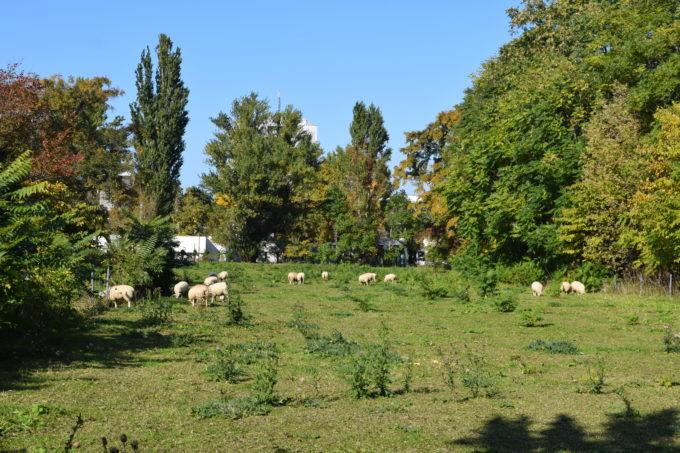花木園と北海道大学理学部3号館の間にいる羊