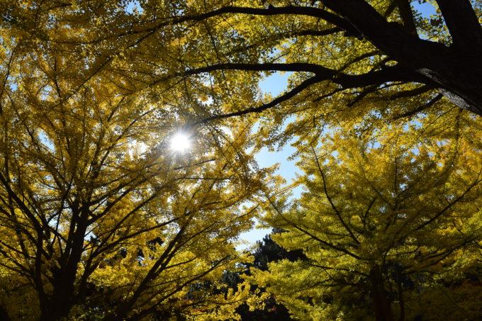 イチョウの葉っぱに太陽の日差しが差し込み