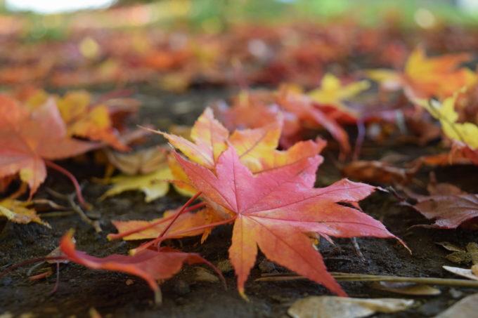 北大の落ち葉