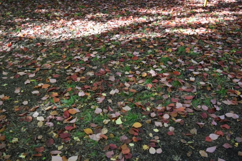 イチョウをはじめ沢山の落ち葉