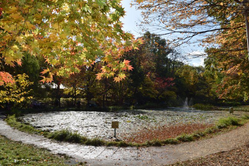 鴨が泳ぐ憩いの場として有名な大野池の紅葉