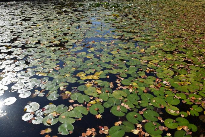大野池の睡蓮の花