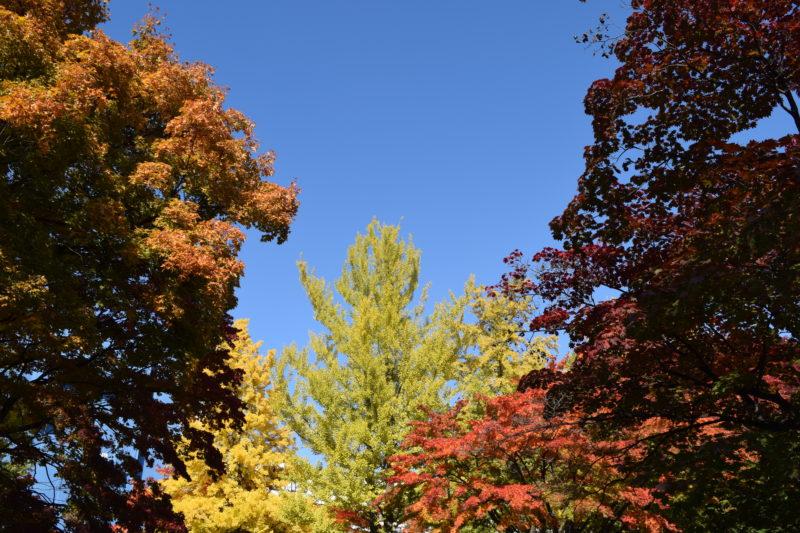 北海道大学紅葉(緑・黄・橙・黄・紫)