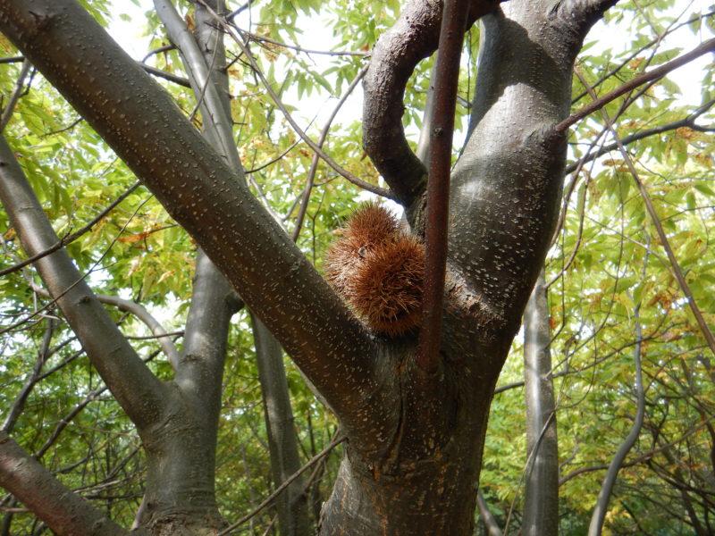枝に引っかかった栗