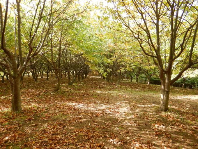 いけだ農園には約700本の栗の木