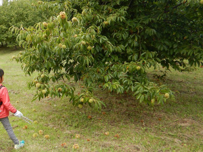 栗の重みで枝がしなった栗の木